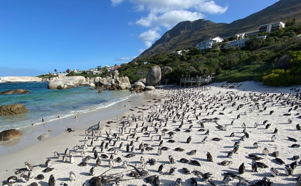 boulders beach i pinguini di cape town